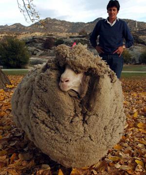 Shrek the Sheep Photo: STEPHEN JAQUIERY