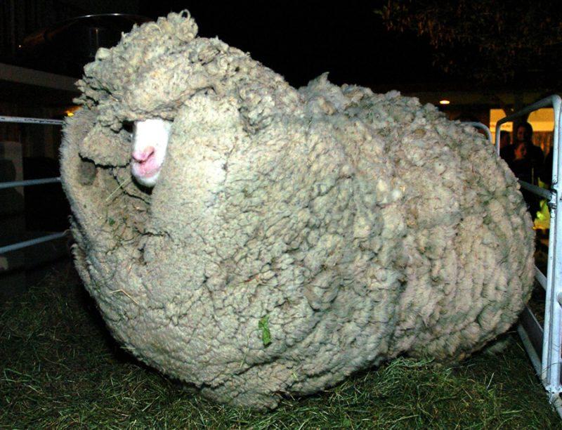 pb-110607-shrek-sheep-430a.photoblog900