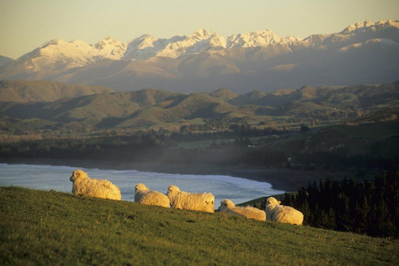Sheep Resting Upon the Rolling Hillside, Kaikura, South Island, New Zealand-537855