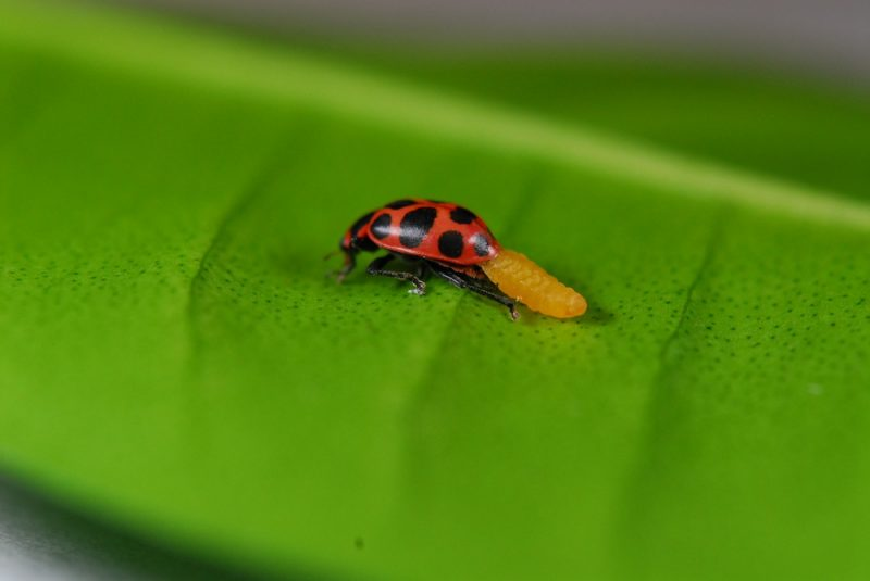 ladybug-larva-110621