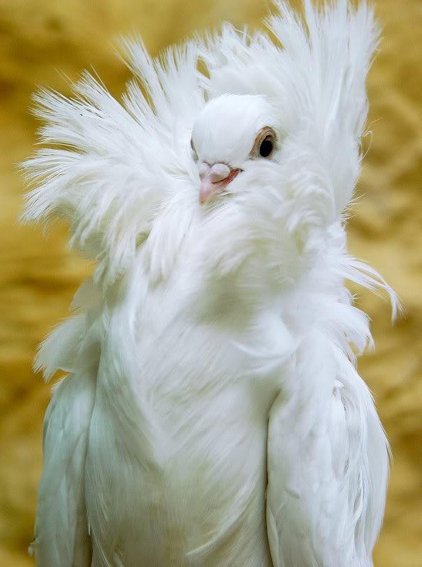 Jacobin Pigeon 1