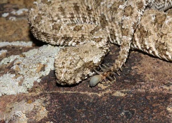 Scary-Viper-s-Tail-Looks-like-an-Even-Scarier-Spider-473398-5